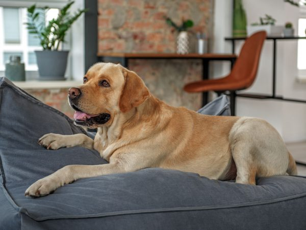 Cute animal labrador leaning on cozy couch in homey apartment. Interior concept
