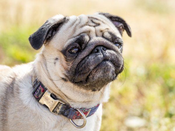 collares antipulgas para perros