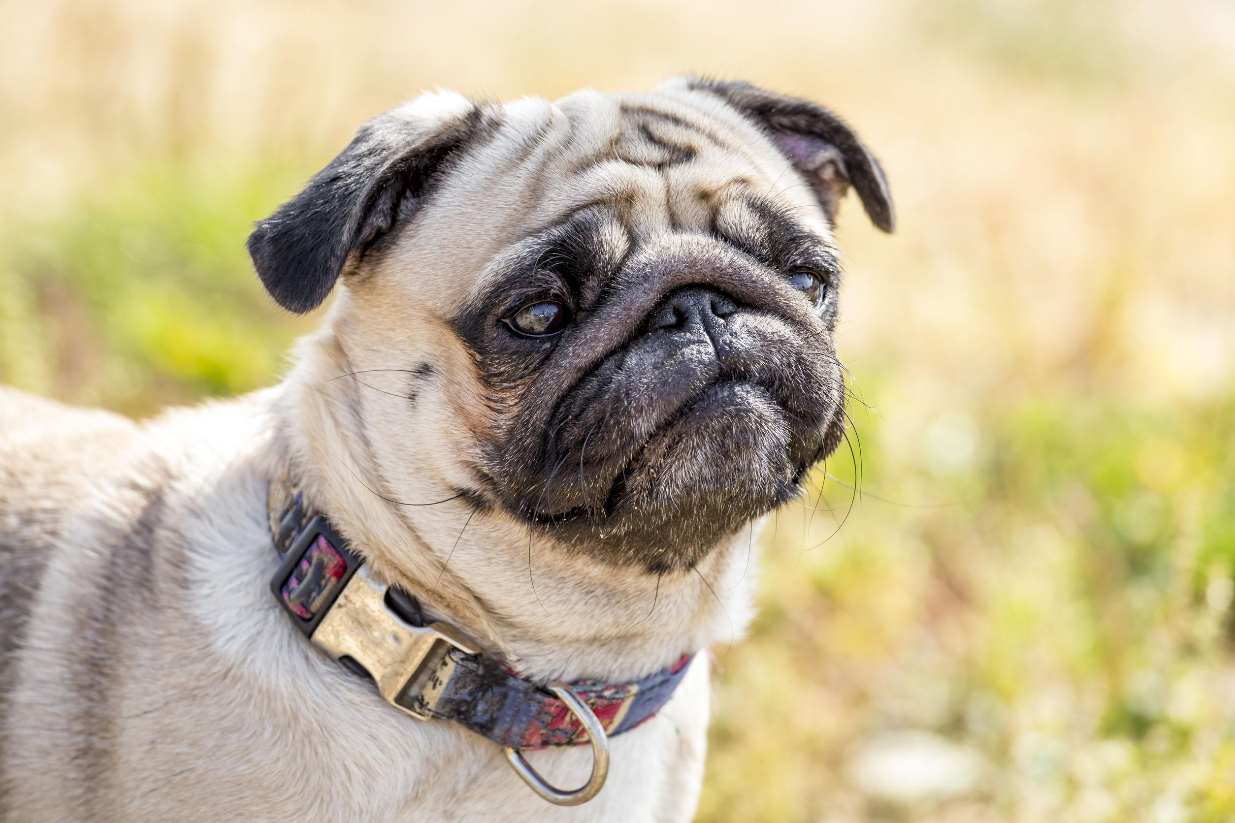 Collares antipulgas para perros: ¿Cuál es el mejor del 2021?