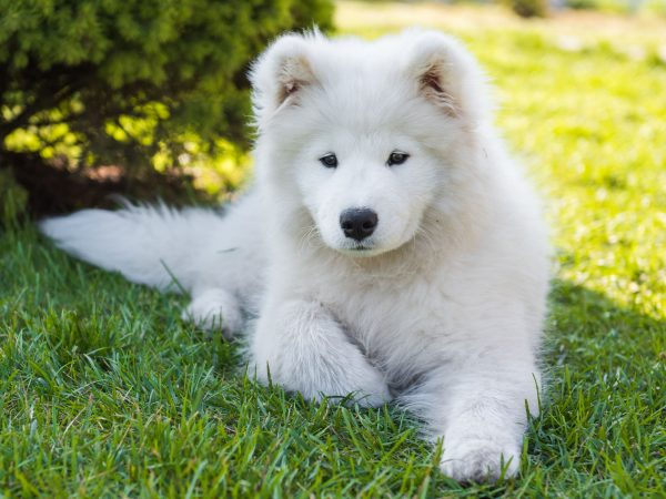 Funny furry Samoyed puppy dog smiles muzzle in the garden on the green grass