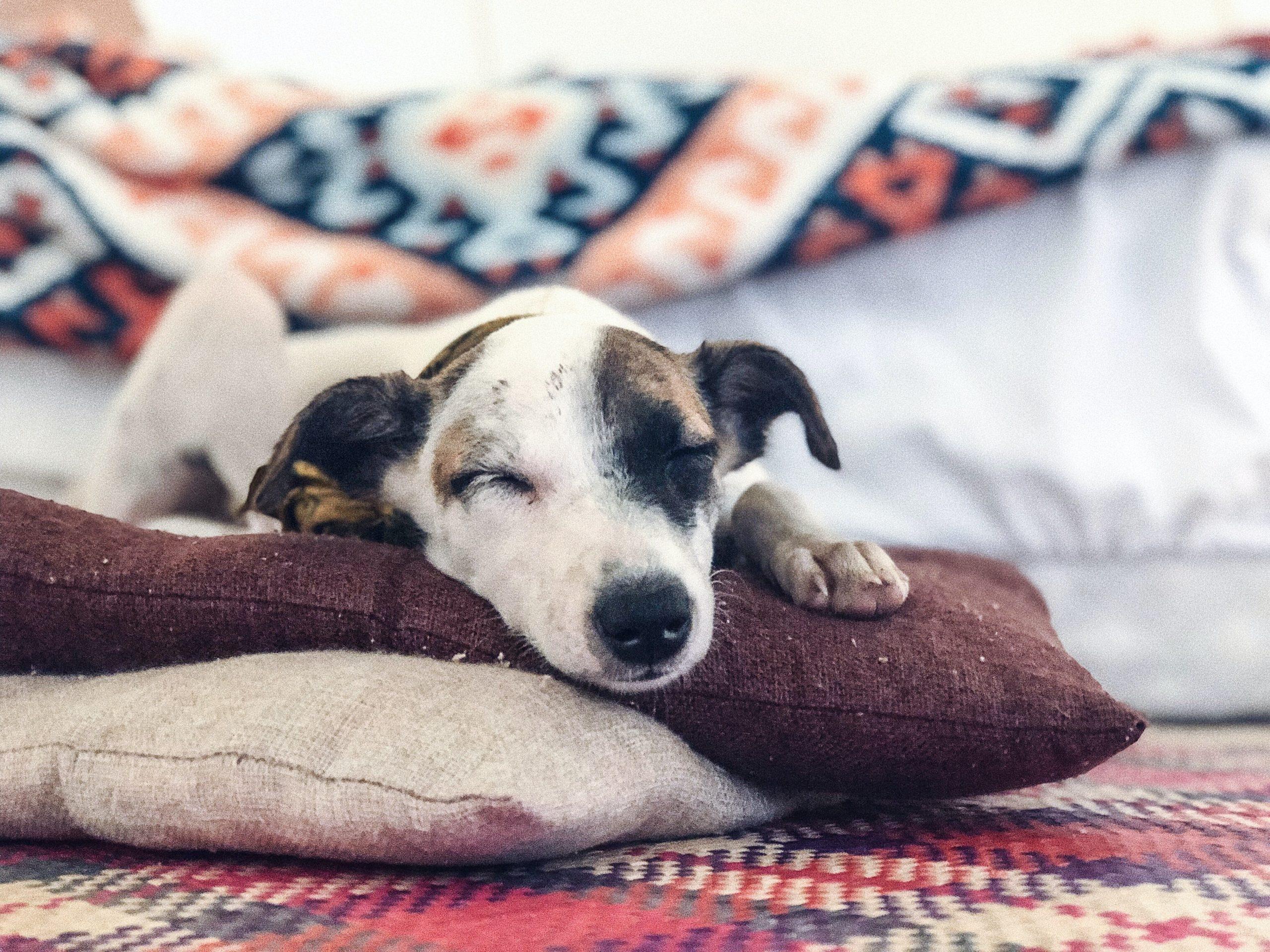 Perro de raza pequeña sobre almohadas