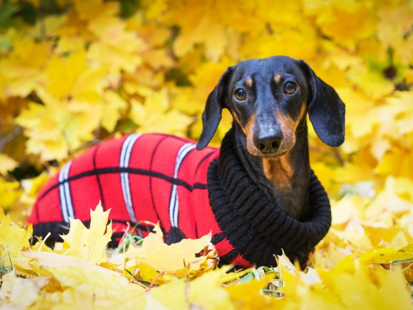 Dachshund dog, black and tan, dressed in a red knitted sweater  in a pile of fall leaves  in the autumn park