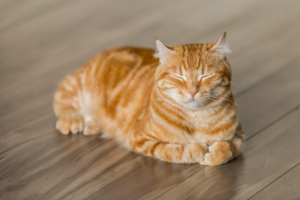 gato amarillo en el suelo