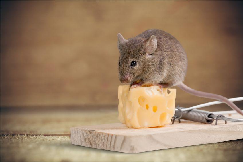 raton sobre queso