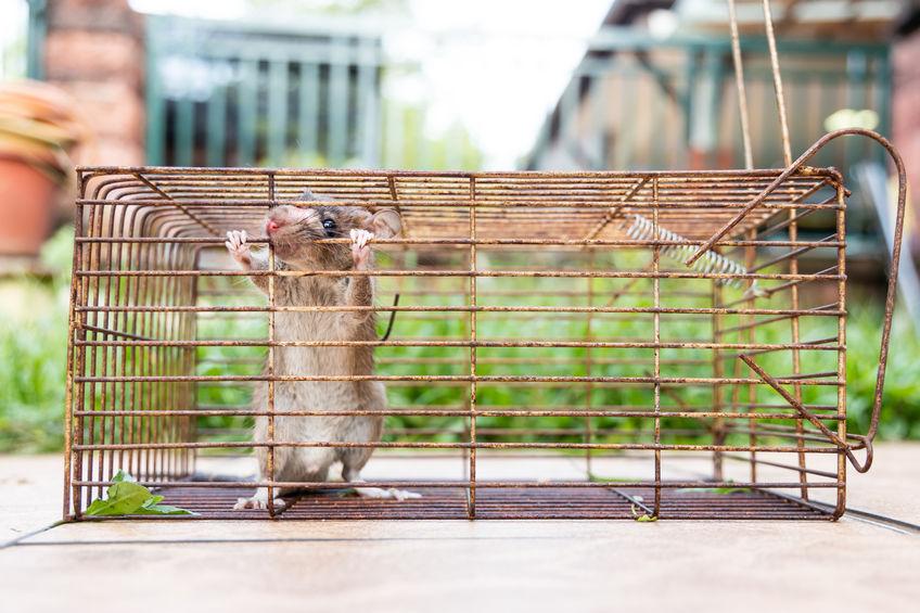 raton dentro de jaula