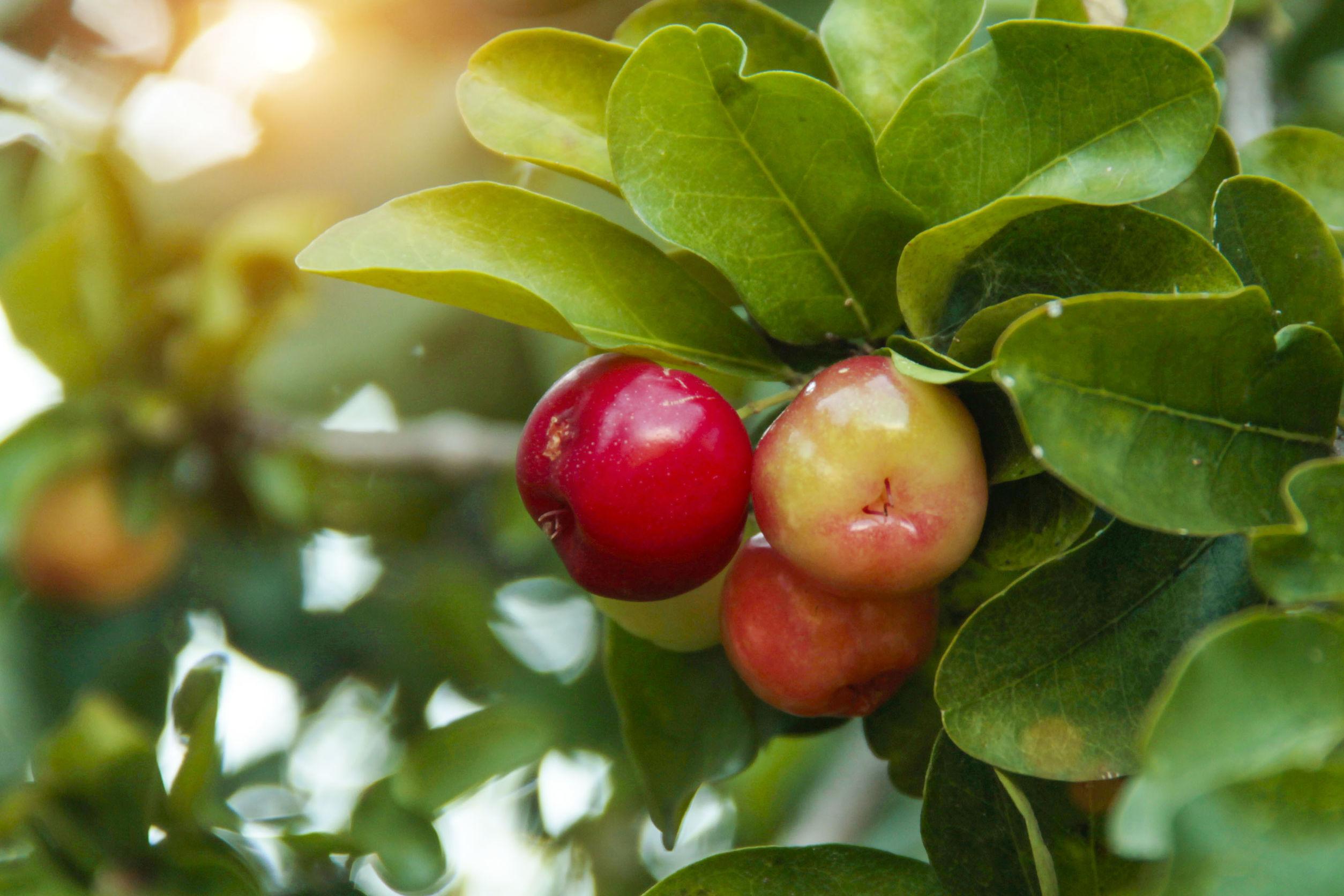 Cereza acerola orgánica fresca en el árbol, frutas ricas en vitaminas y antioxidantes.