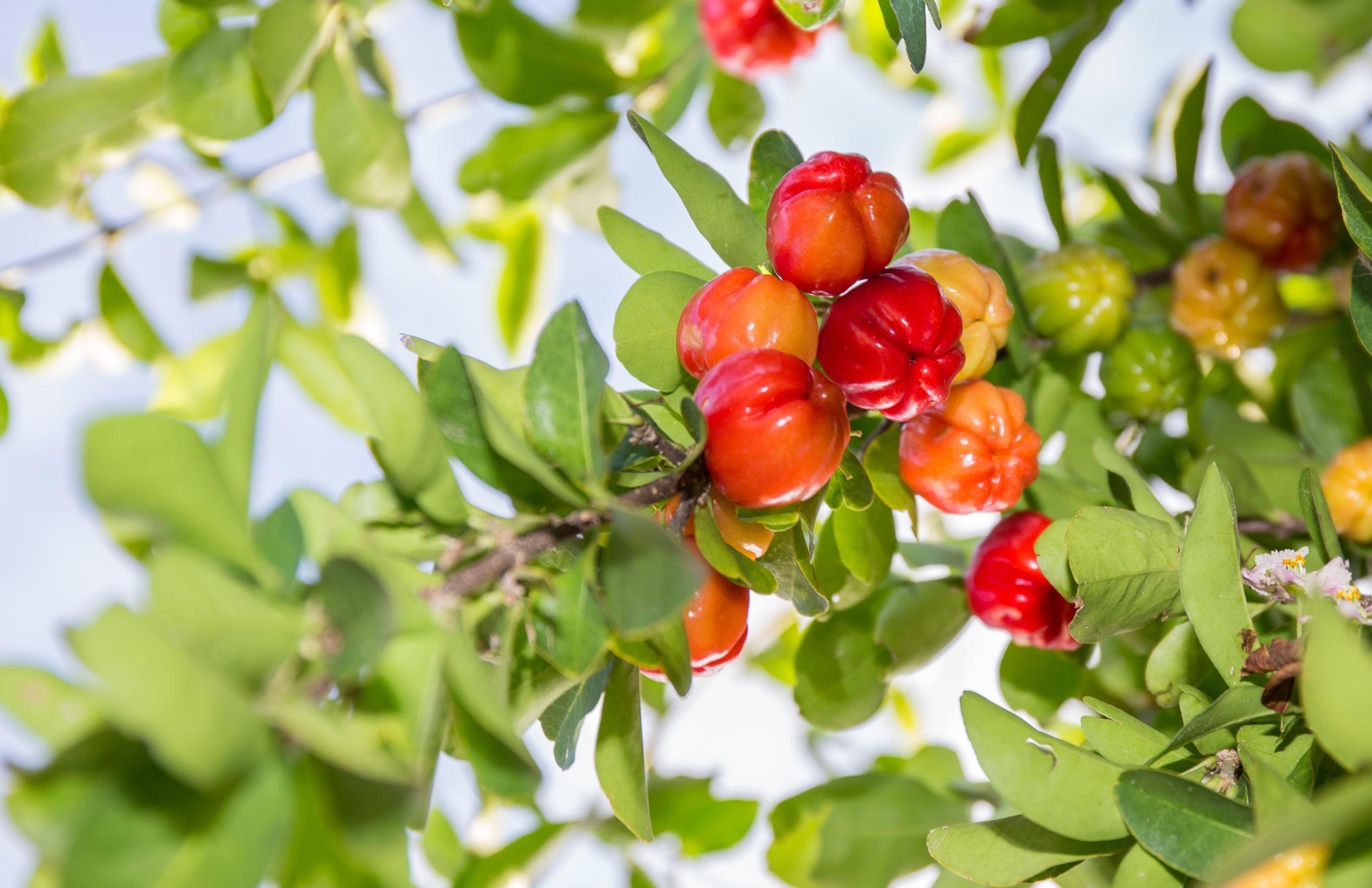 Arbol de acerola cargado con frutas