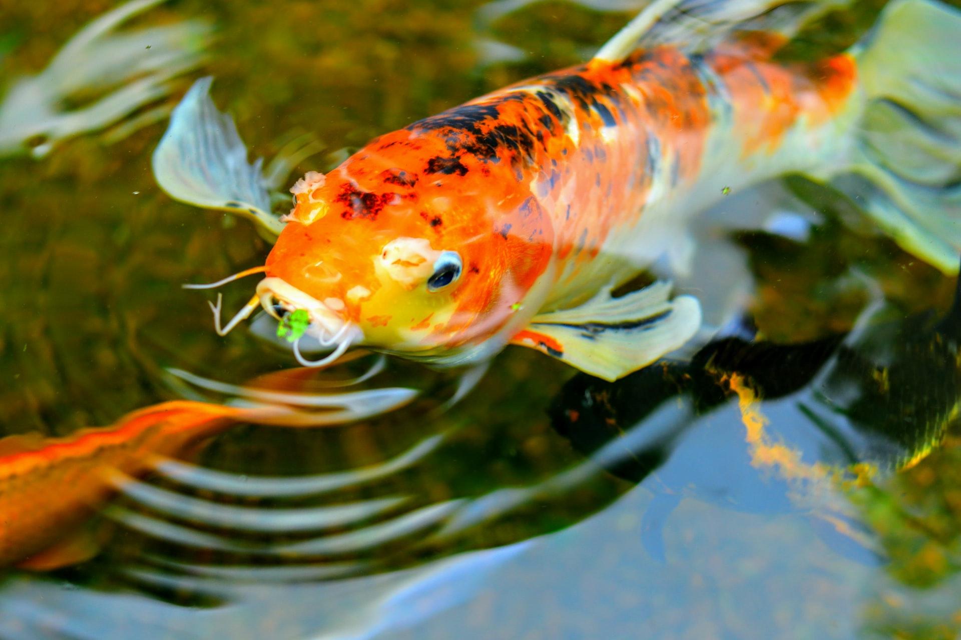 peces koi dentro de fuente