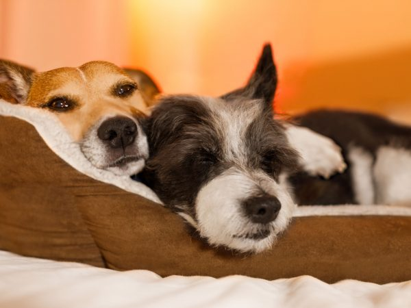 couple of dogs in love close and cozy together sleeping and relaxinf on bed cuddeling in embrace ( low light photo)