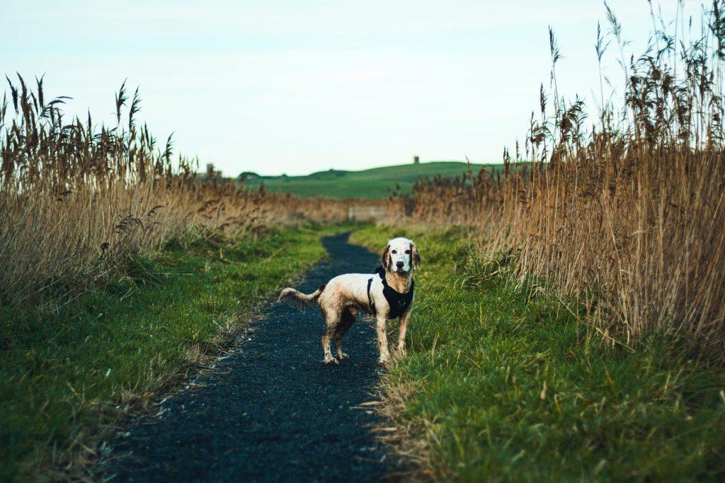 perro en campo