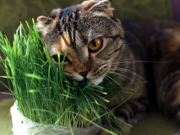 Brown scottish fold cat is eating a green grass when is lying on an armchair.