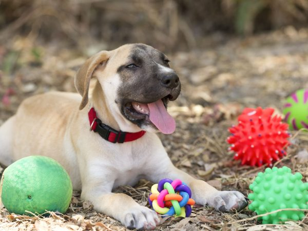 49983422 – dog toys is a cute happy puppy is outdoors surrounded by his toys.