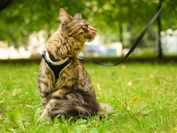 Beautiful grey maine coon cat in leash and harness walking in the city park on the green summer grass