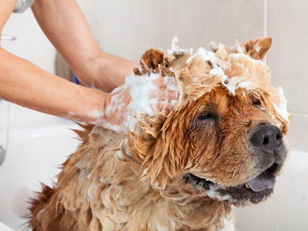 Bubble Bath a lovely dog chow chow