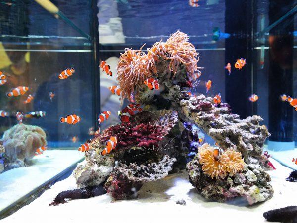 Clown fish swimming in aquarium