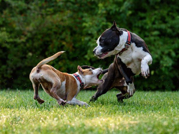 Dos perros pitbull jugando al aire libre