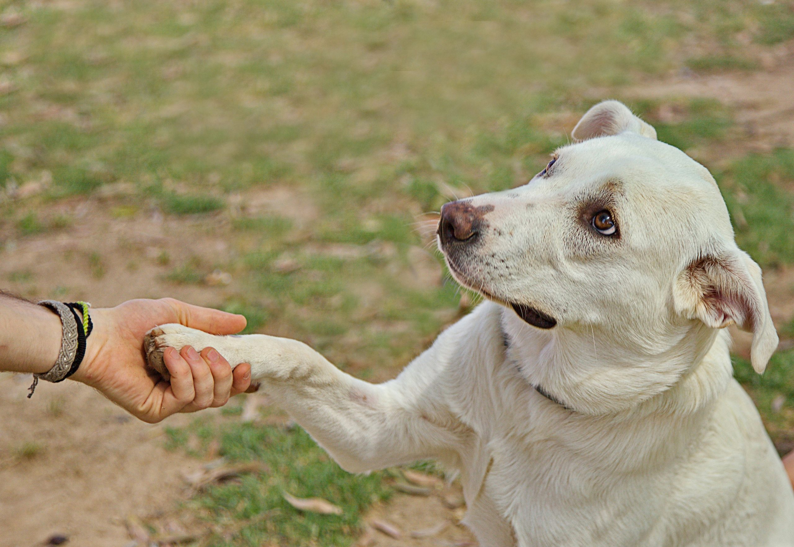 Perro estrechando su pata a una persona