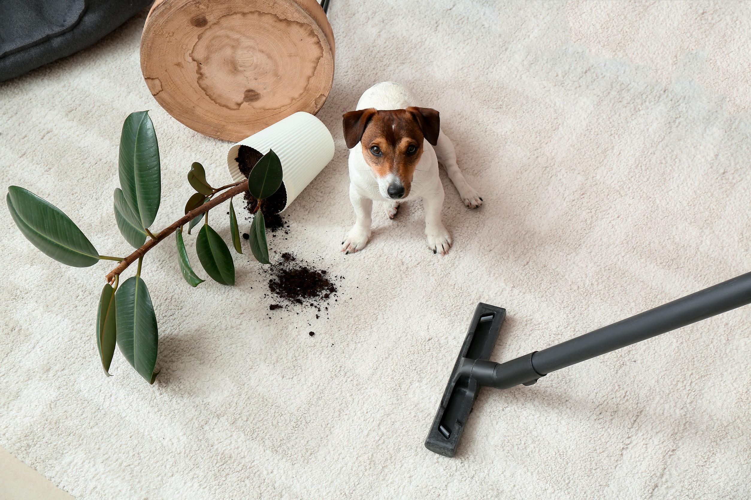 Propietario limpiando alfombra después de perro travieso