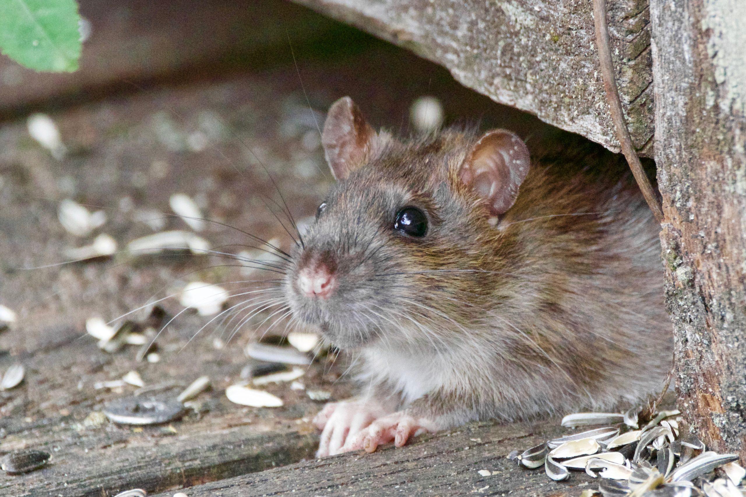 raton en casa