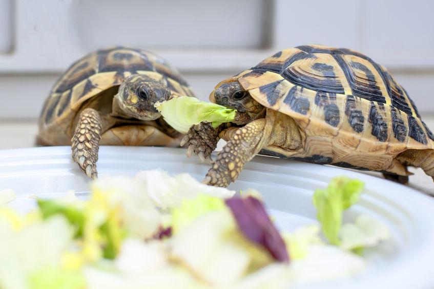 tortugas comiendo