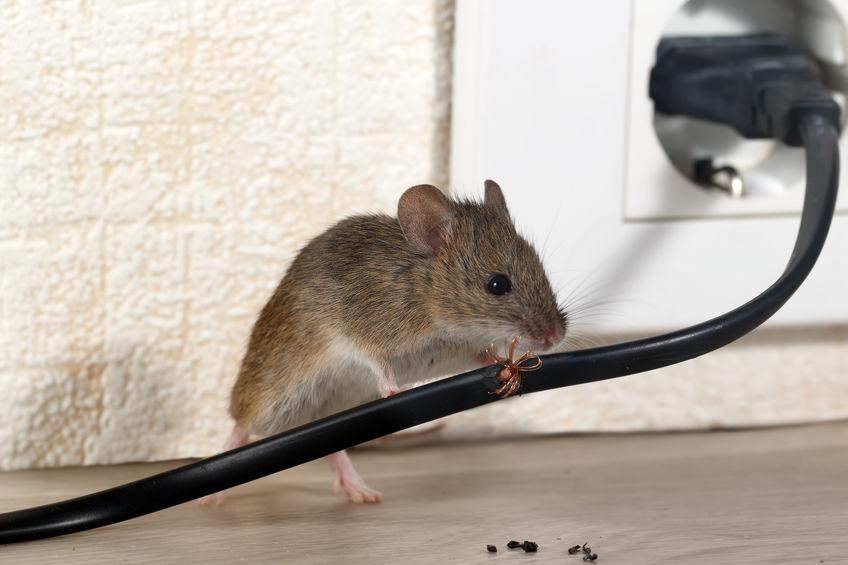 raton comiendo cable
