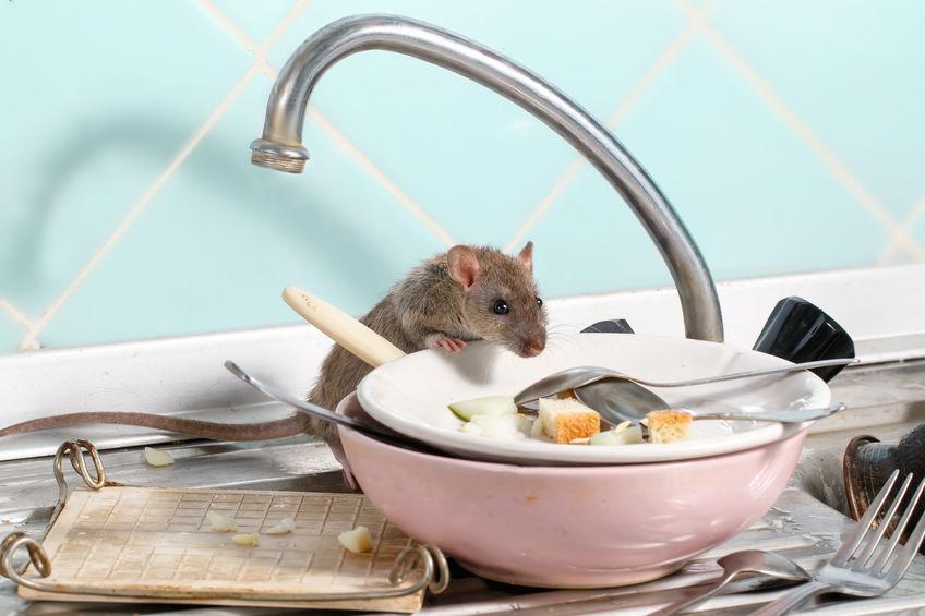 raton en lavamanos