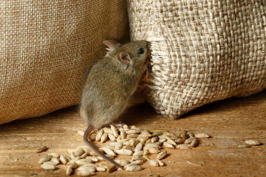 raton rompiendo saco