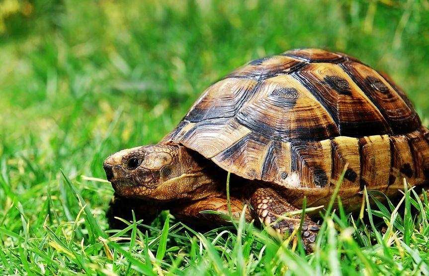 tortuga en cesped