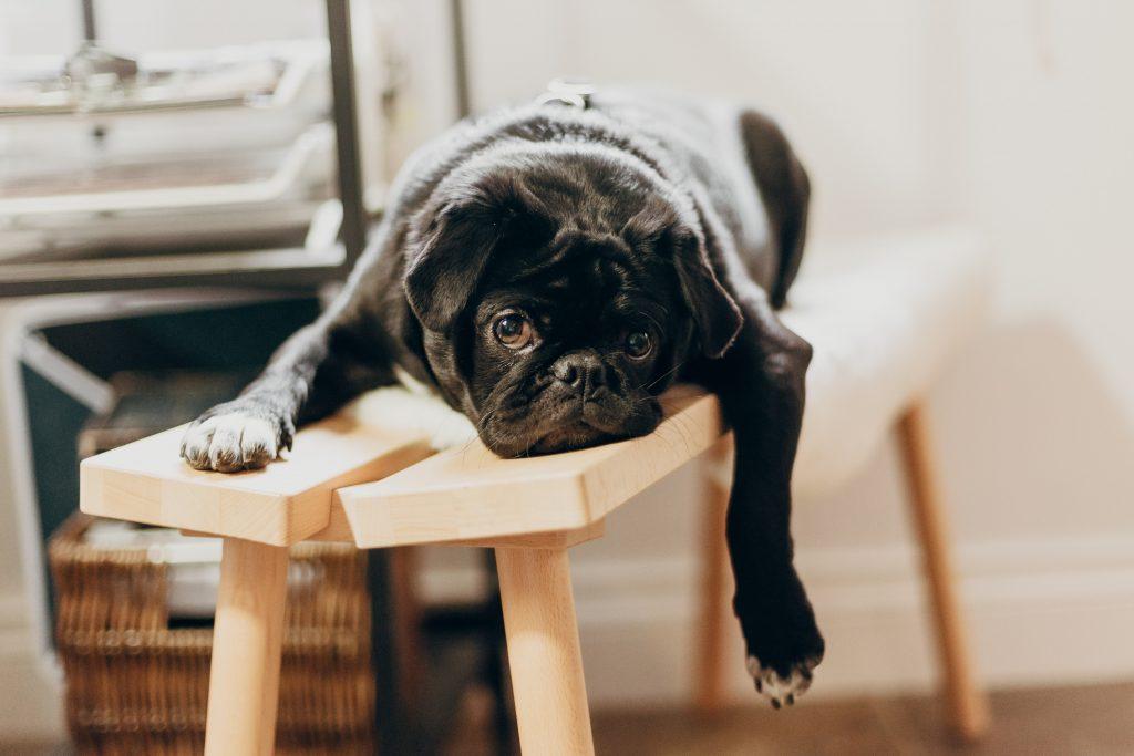 Bulldog frances acostado encima de un banco con cara de aburrido