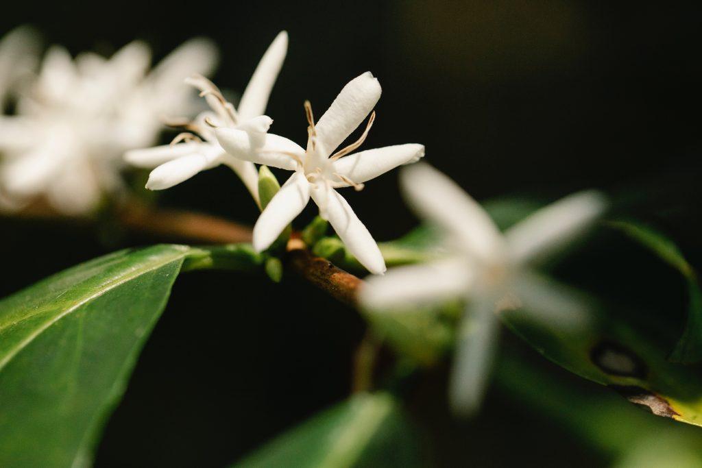 Planta de café arábica
