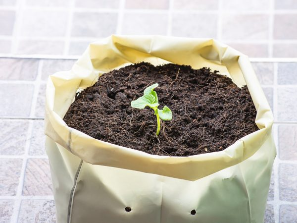 Seedlings of melon that are growing from seed on the ground in a plastic bag.