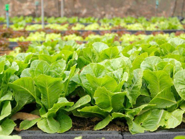 photo of green vegetable in organic farm